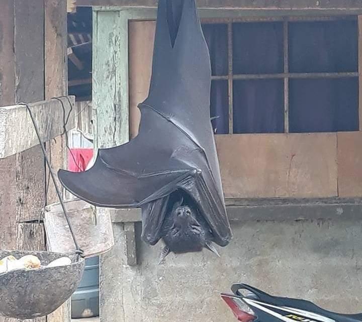 """Esta foto de um morcego de """"tamanho humano"""" é realmente real."""
