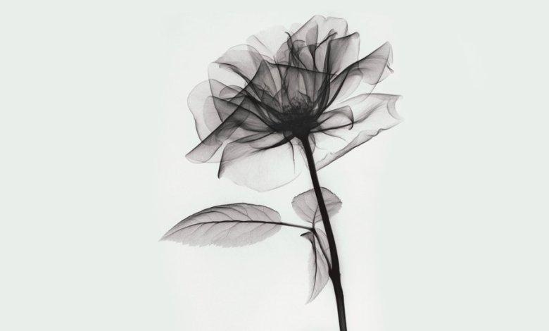 O raio-x de uma rosa.