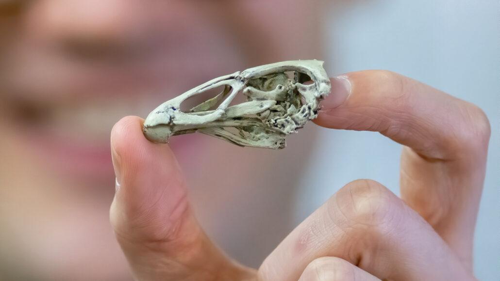 O sobrevivente do impacto que extinguiu a vida dos dinossauros.