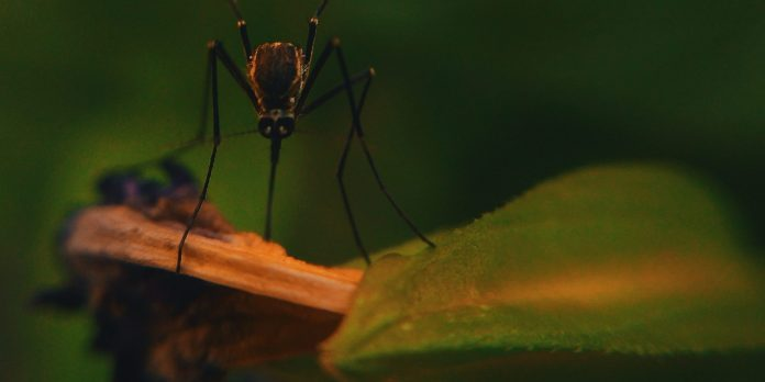 Imagen de un mosquito en la naturaleza