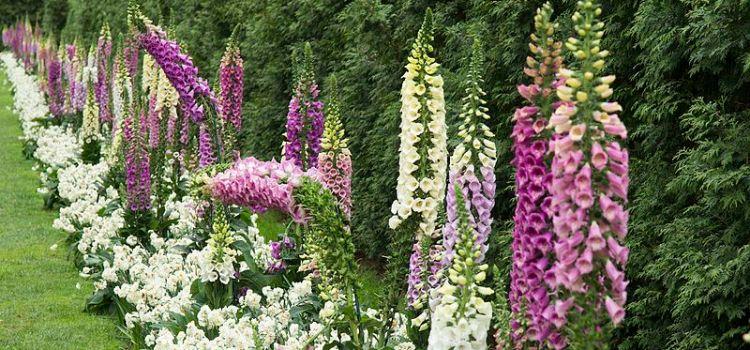 Longwood Gardens Foxglove
