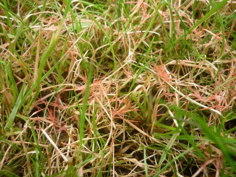 Red Thread Lawn Disease