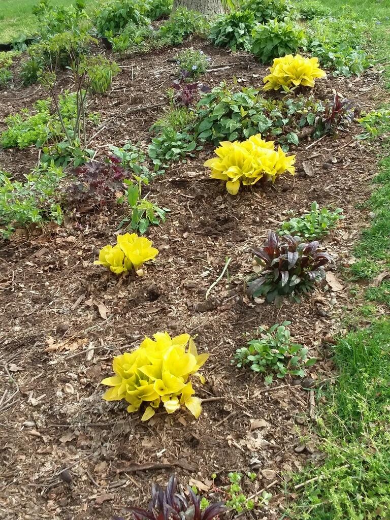 Yellow Hostas in Lancaster