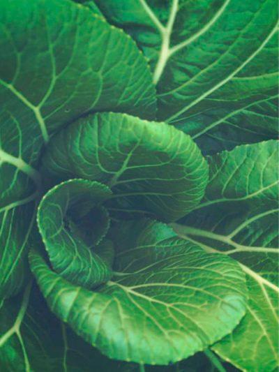 sachet de graines bio et reproductibles de chou de chine pack choï - échoppe végétale