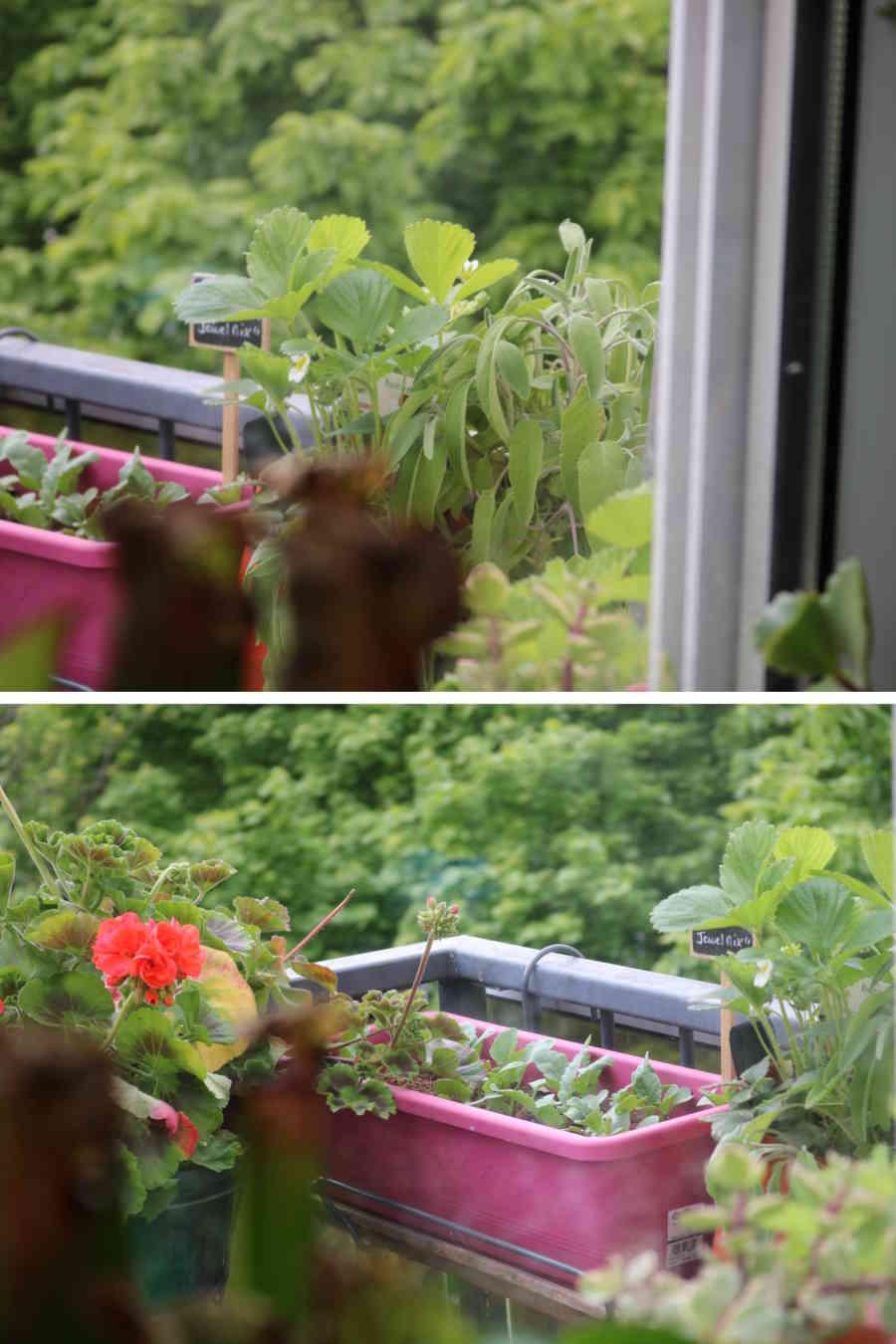 L'échoppe Végétale - Inspirations pour un automne pas monotone | faire pousser des géranium, des fraisiers et de la sauge en automne sur son balcon dans des pots et jardinières