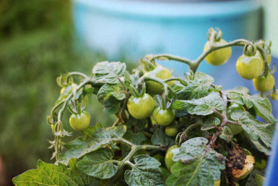 L'échoppe Végétale - Inspirations pour un automne pas monotone | faire pousser des tomates cerises en pot sur son balcon potager