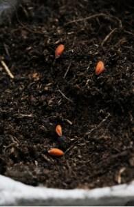graines de cresson alénois bios en aperçu, semées dans une boite d'œuf