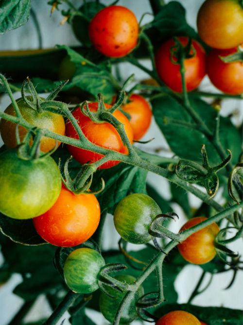 tomates vertes et rouges en train de murir au potager sur balcon - échoppe végétale