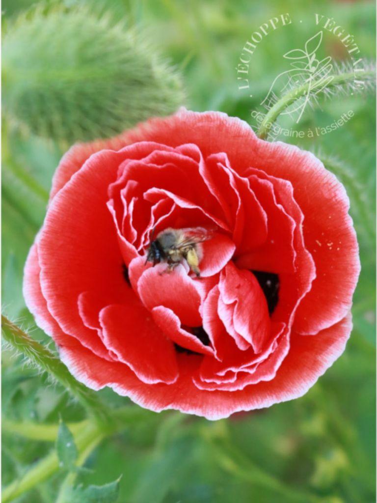 plantes mellifère à cultiver dans un potager sur balcon : le coquelicot simple rouge