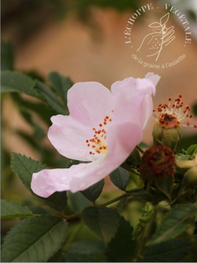 fleurs roses mellifère à cultiver dans un potager sur balcon. Pousse dans le jardin du domaine de Trianon au chateau de Versailles.