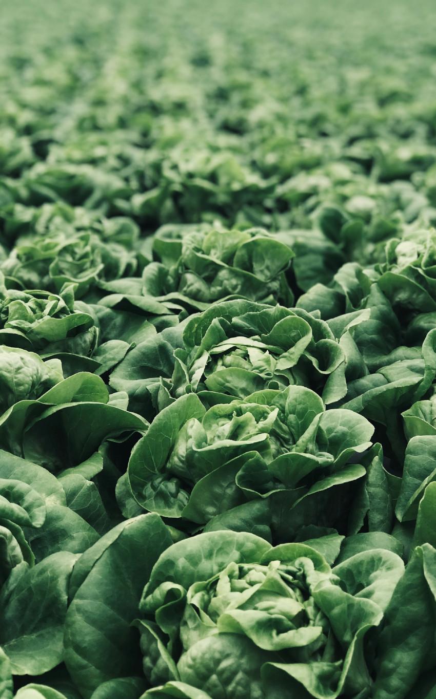 légumes feuilles comme la laitue qui poussent à l'ombre avec une faible source de lumière