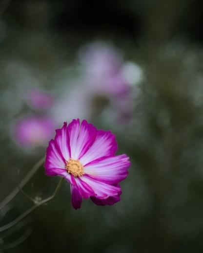 graines bios de fleurs de cosmos rose