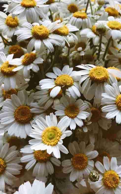faire pousser de la camomille au balcon, plantes médicinales