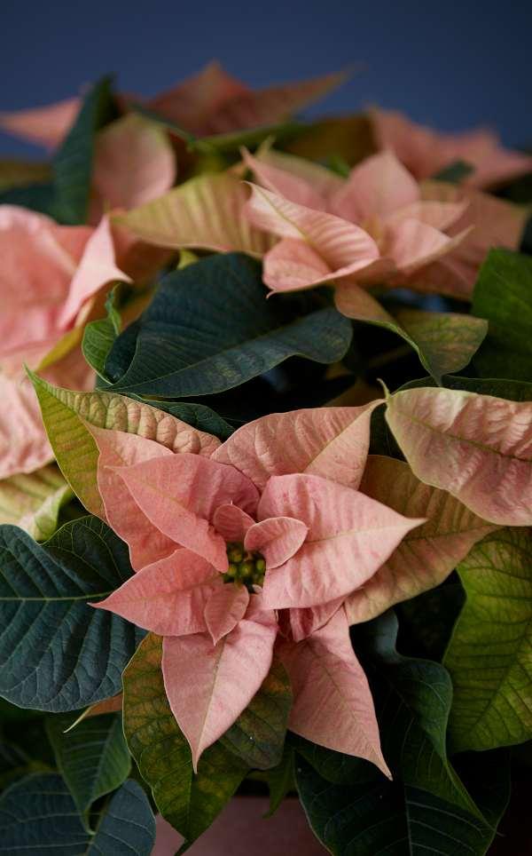 conseils entretien poinsettia rose pale jardin d'hiver