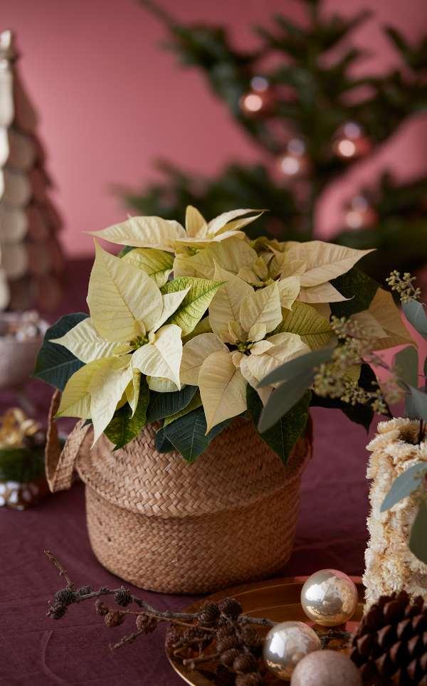 conseils décoration noel poinsettia jaune en bouquet et centre de table
