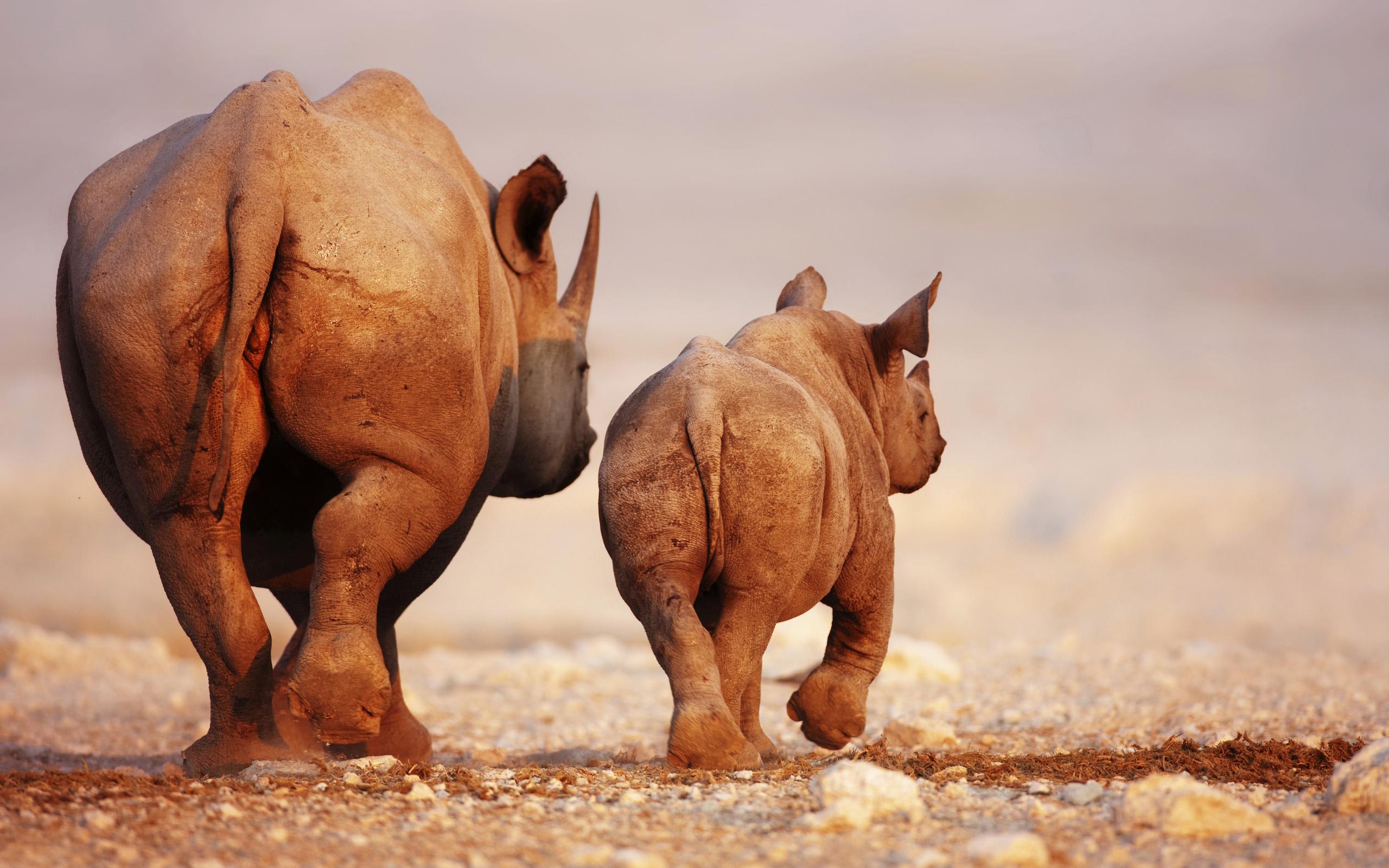 awesome rhino wallpaper   2560x1600   #11481