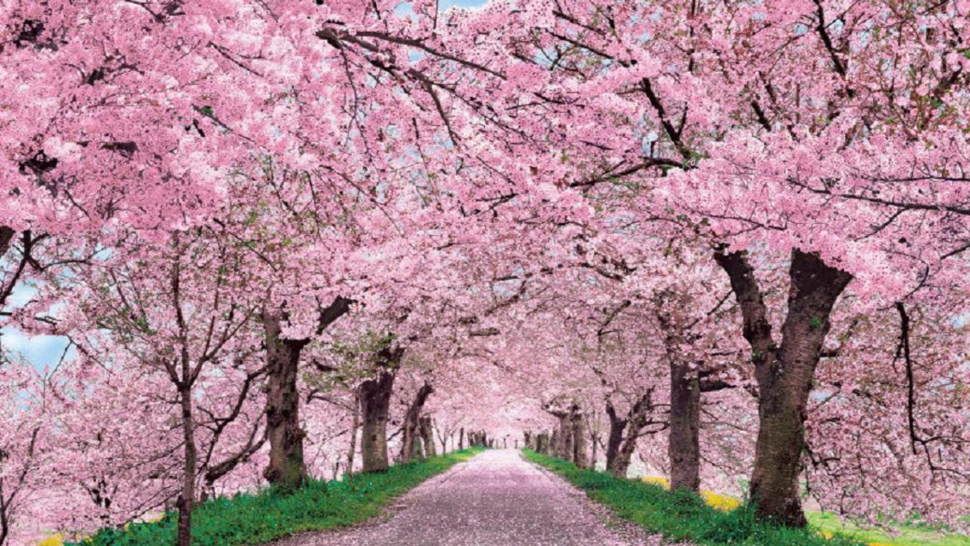 Cherry Blossom Season | OVS Journalism Blog