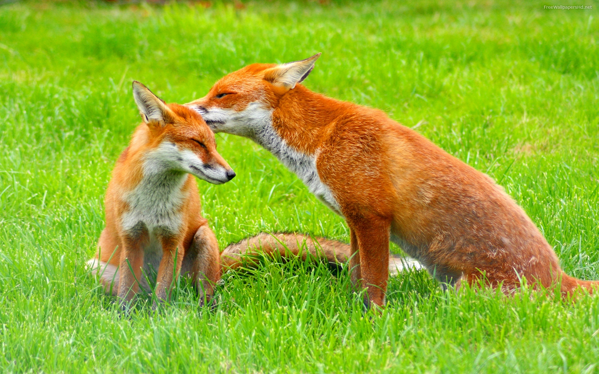Image result for free fox images