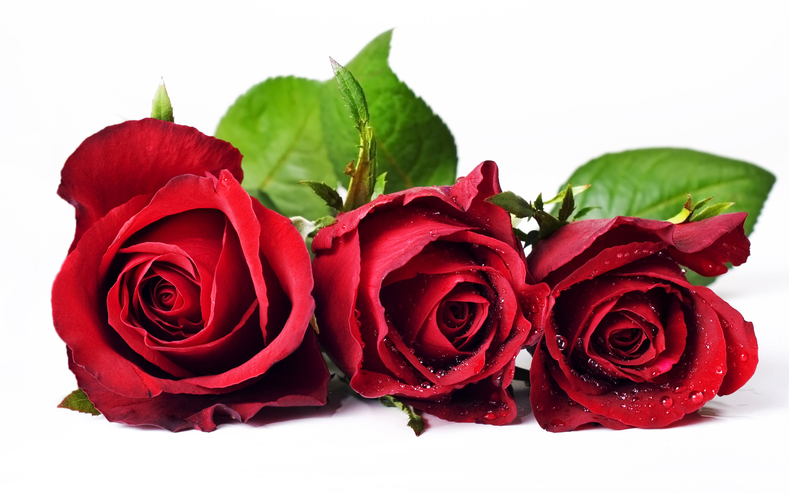 Free Rose Pictures Wallpaper 2560x1600 83310
