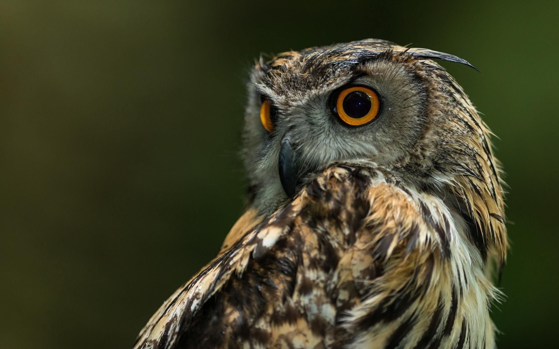 Owl Hd Wallpaper 1920x1200 13905