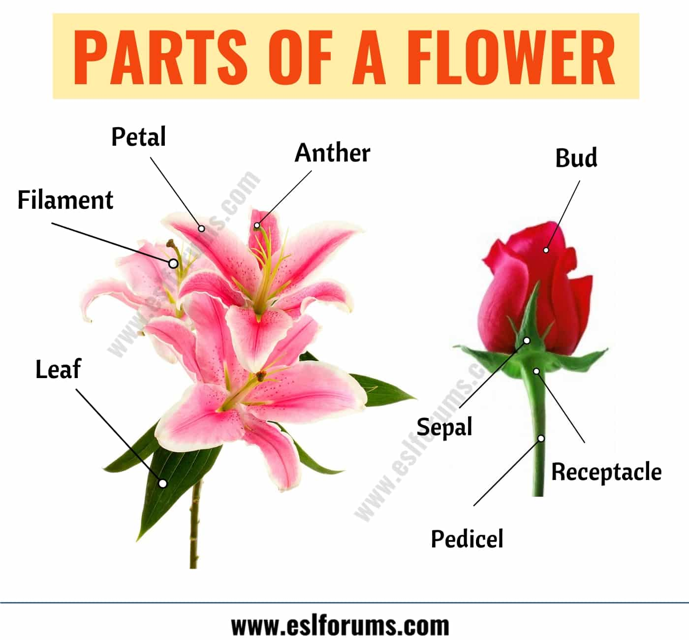 Parts Of A Flower Learn Different Flower Parts With Esl