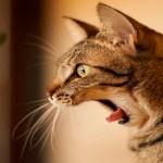 9 a cat screeching