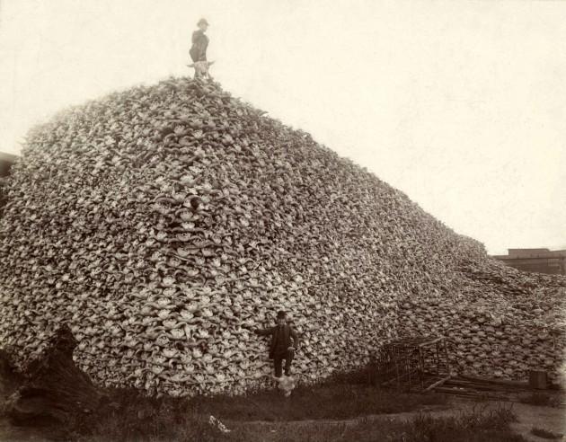 El bisonte americano estuvo a punto de desaparecer en el siglo XIX por su caza masiva. No solo querían su carne, sus cráneos eran machacados y usados como fertilizante