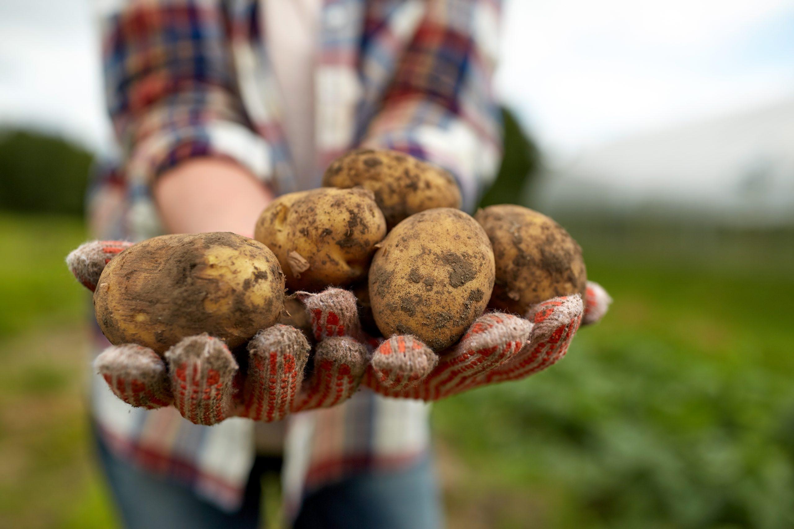 farmer hands holding potatoes at farm PYPDY7K