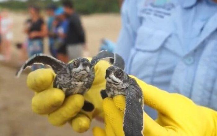 DRNA estará vigilante al anidaje de tortugas marinas