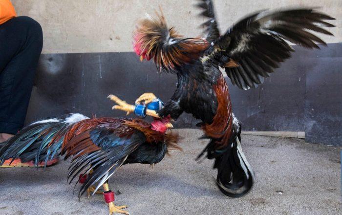 Jenniffer González favorece choque con gobierno federal por peleas de gallos