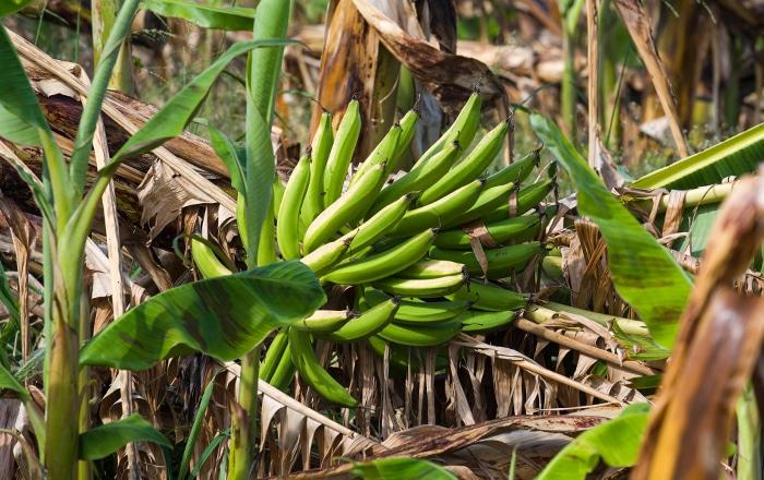 Secretario de Agricultura pide a supermercados que reduzcan el precio de plátanos