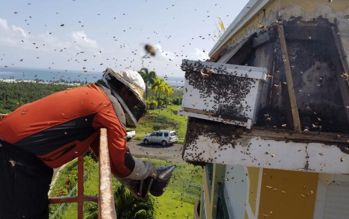 Abeja puertorriqueña podría resolver crisis mundial
