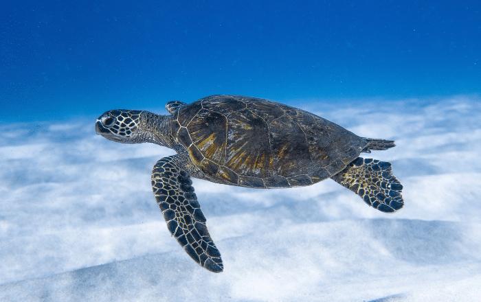 Guayama con la mayor cantidad de nidos de tortugas de carey