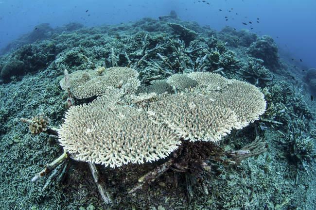 DRNA firma orden para la restauración de arrecifes de coral