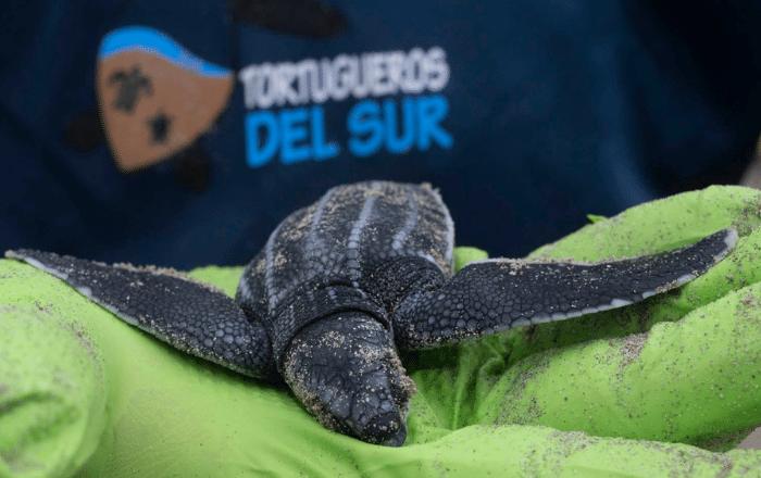Tortugueros del Sur: dedicados a la conservación