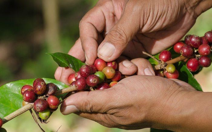 Buscan personas para recoger café en periodo más productivo