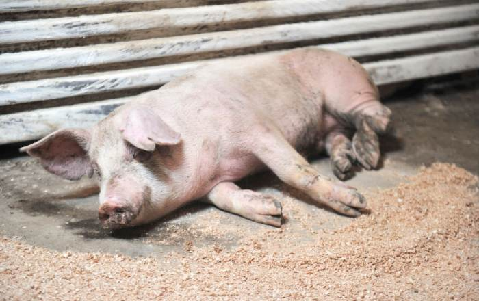 Lo que debes saber de la peste porcina africana