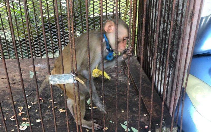 Arrestan guardia correccional con monos exóticos, drogas y armas