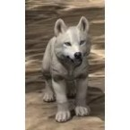 White River Ice Wolf Pup