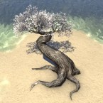 Tree, Squat White Cherry