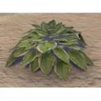 Plant, Healthy White Hosta