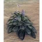 Plant, Paired White Hosta