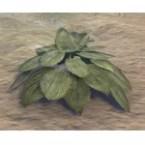 Plant, Summer Hosta