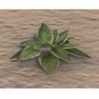 Plant, Young Verdant Hosta