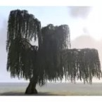 Tree, Weeping Willow