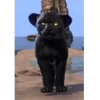 Black Senche-Panther Kitten