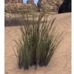 Grass, Foxtail Cluster