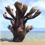 Antler Coral, Branched Spire