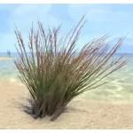 Plant, Redtop Grass