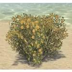 Shrub, Yellow Necklacepod